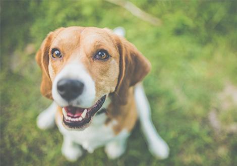 hogyan lehet egy beagle fogyni