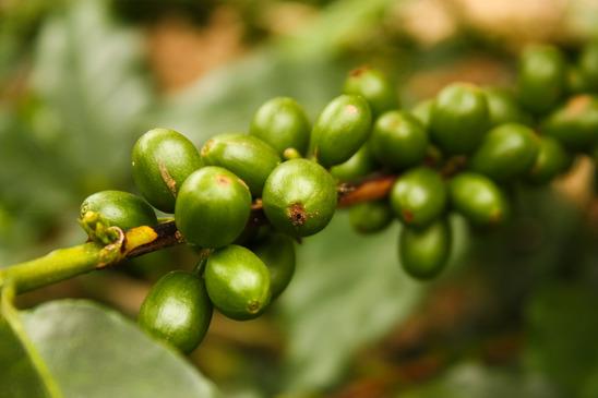 Zöld kávé igazság és mítoszok fogyás