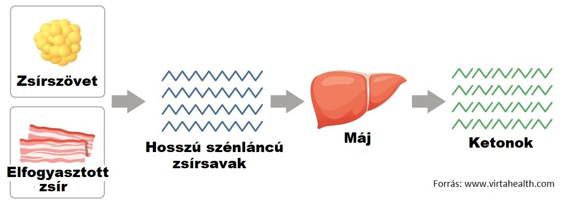 zsírégető mitokondriumok)