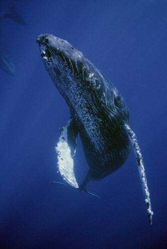 mentse a bálnák fogyni)
