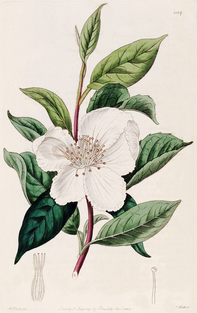 camellia sinensis fogyás)