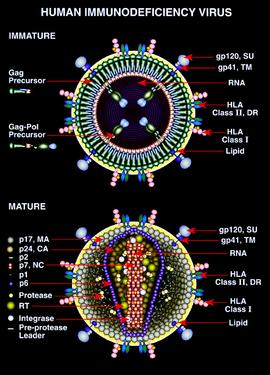 HLA-tipizálás cöliákiában