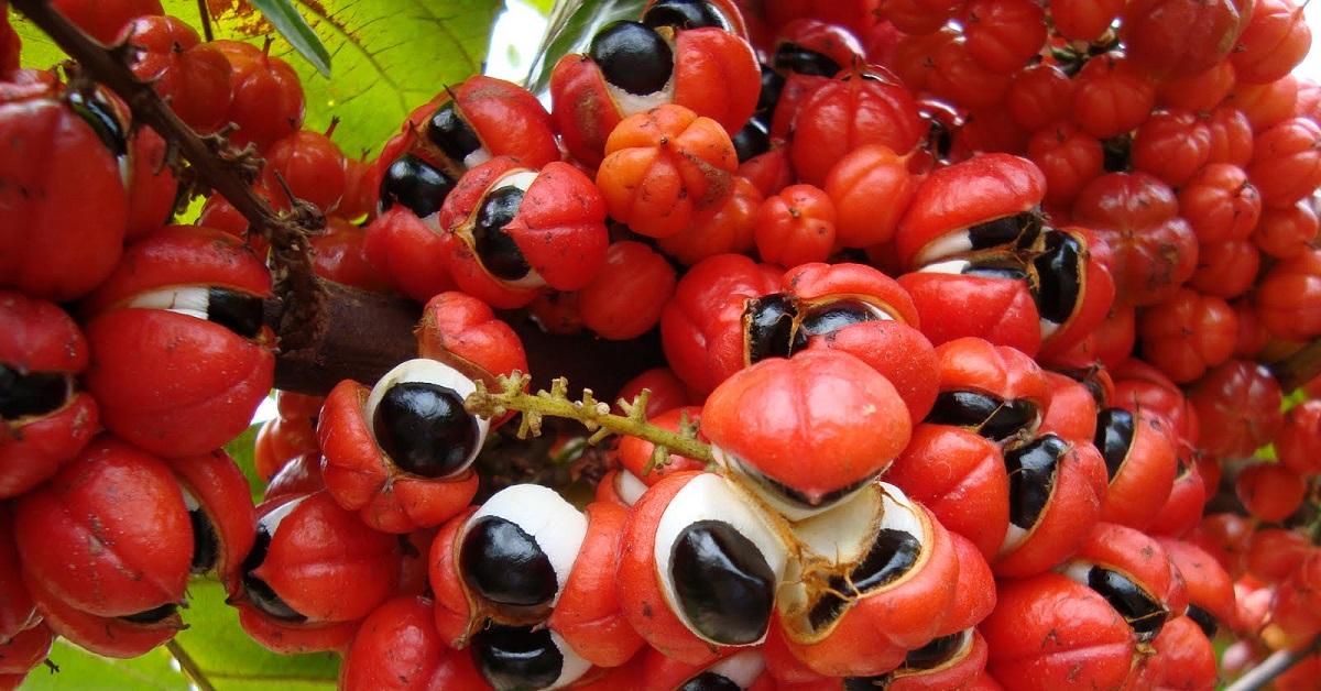 guarana zsírégető mellékhatások)