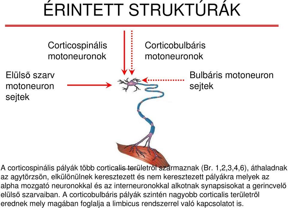 motoros neuron fogyás